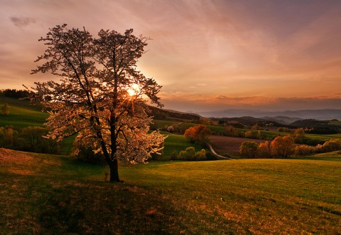 cherry-tree-sunset